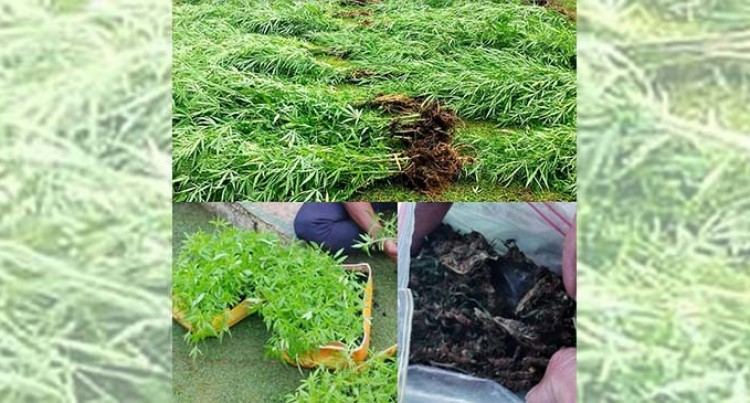 Joint Raid Finds Marijuana Plants, Seedlings On A Farm In Tukavesi, Cakaudrove
