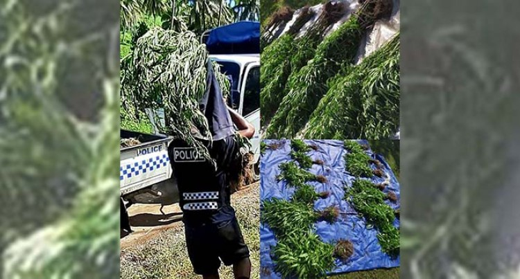 700 Marijuana Plants Seized From A Farm In Navonu Hills