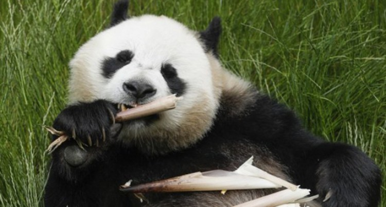 Four Giant Pandas Meet Public In Southwest China