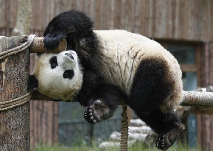 """Giant panda """"Xin Xin"""" plays at the Jiuzhaigou panda park in southwest China's Sichuan Province, June 19, 2020. (Xinhua/Shen Bohan)"""