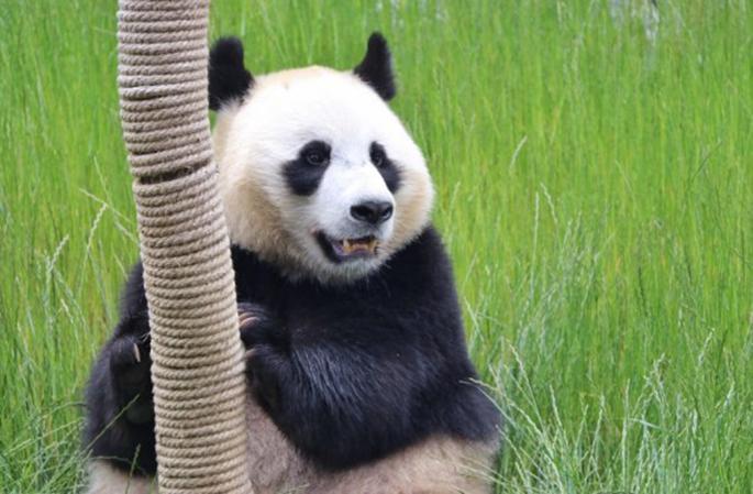 A giant panda is seen at the Jiuzhaigou panda park in southwest China's Sichuan Province, June 19, 2020. (Xinhua/Liu Kun)