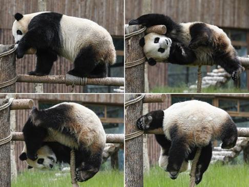 """Combo photo taken on June 19, 2020 shows giant panda """"Xin Xin"""" playing at the Jiuzhaigou panda park in southwest China's Sichuan Province. (Xinhua/Shen Bohan)"""