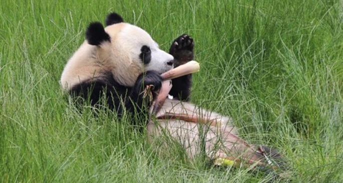 A giant panda eats bamboo shoots at the Jiuzhaigou panda park in southwest China's Sichuan Province, June 19, 2020. (Xinhua/Liu Kun)