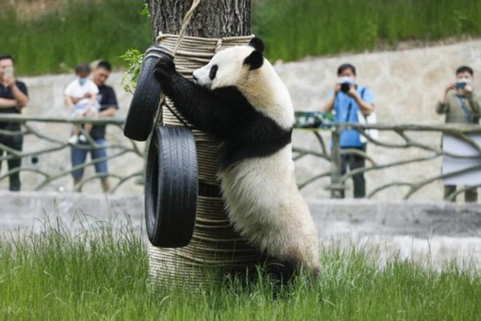 "Giant panda ""Hai Hai"" plays at the Jiuzhaigou panda park in southwest China's Sichuan Province, June 19, 2020. (Xinhua/Shen Bohan)"