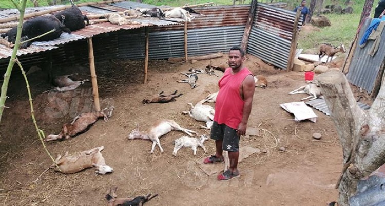Goat Farm Horror: Farmer Finds Dead Herd In Ba