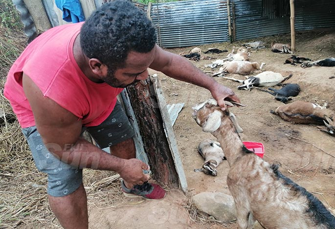 Pastor Paula Sili lost 31 goats, which he claims were poisoned and stabbed. Photo: Susana Hirst-Tuilau