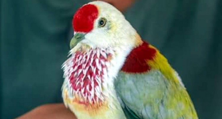 Discovered Bird Confirmed As Many-Coloured Fruit Dove