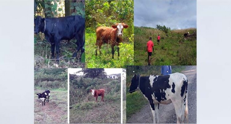 Nadi Police Recover Stolen Livestock Belonging To A Businessman
