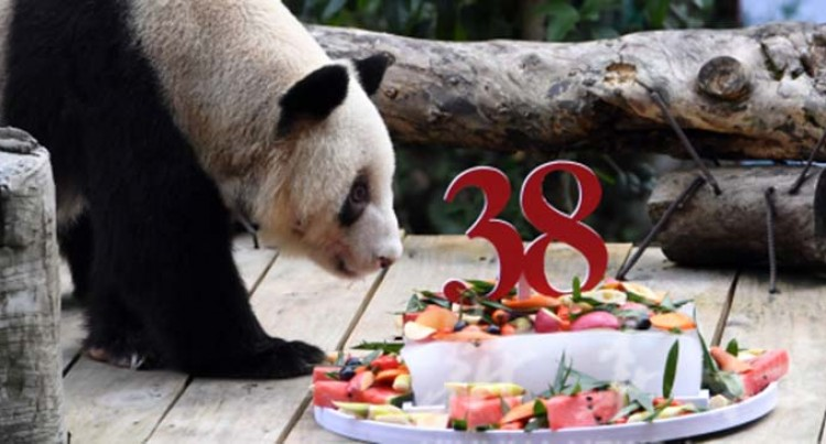 World's Oldest Captive Giant Panda Celebrates 38th Birthday