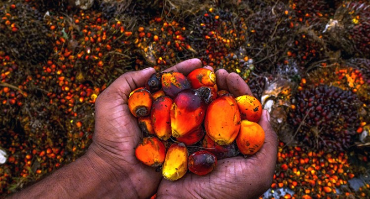 Oil Palm – The Other Tree Of Life