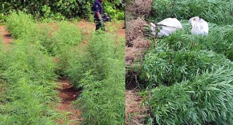 Over 2,000 Marijuana Plants Discovered In Kadavu