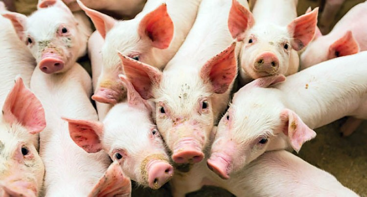 Fiji Free From African Swine Fever: Reddy