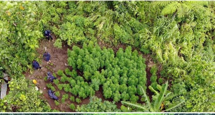 Over 300 Marijuana Plants Uprooted In Kadavu