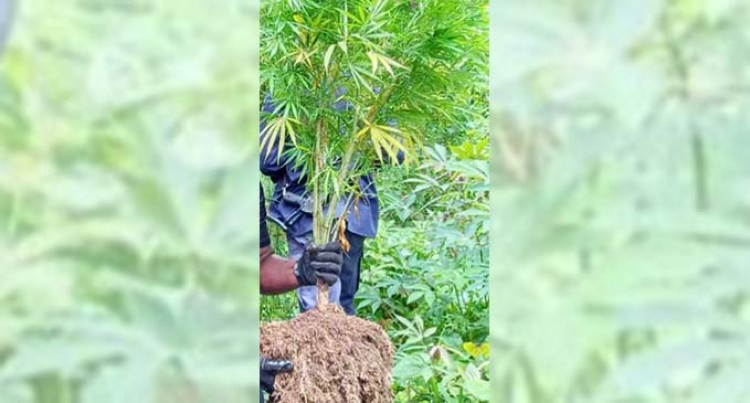 Over 190 Marijuana Plants Uprooted In Kadavu Following Information
