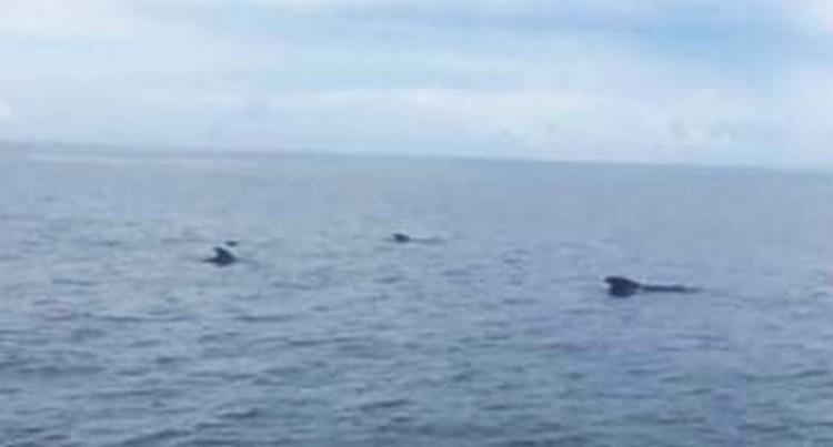 Pilot Whales Off Savusavu