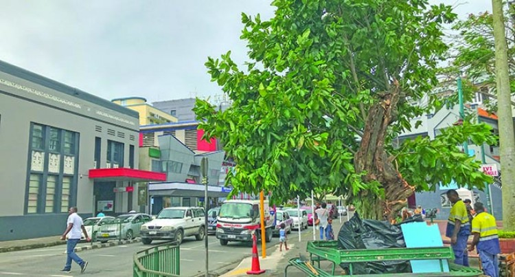 Tree Surgeon To Preserve Capital's Iconic Ivi Tree