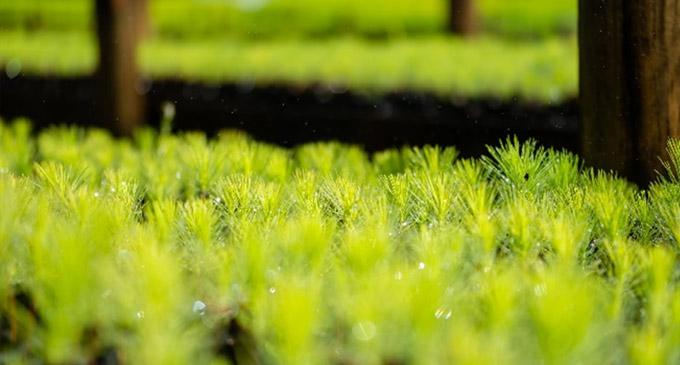 Fiji Pine Nabou Nursery Plants