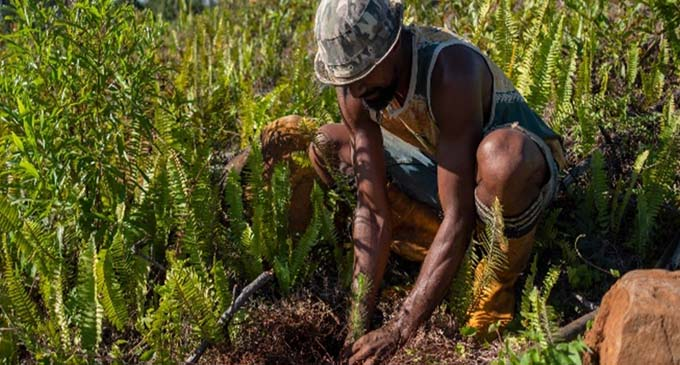 Planting Pine