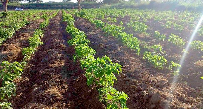 New Valley Produce chilli farm in Sabeto, Nadi.