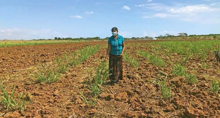Salt Water Intrusion Affects Some Cane Growers In Drasa