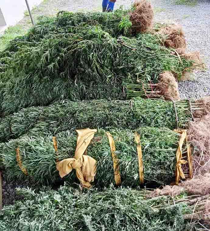 Uprooted marijuana plants.