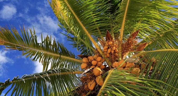 Nasinu Residents Nab Alleged Coconut Thief