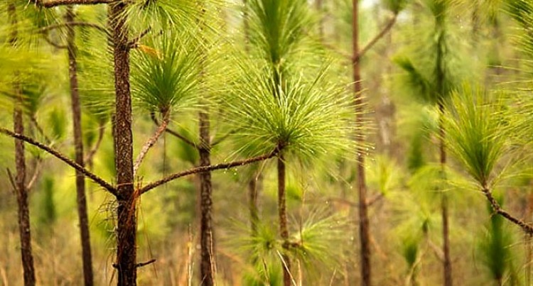 Fiji Pine To Plant To Grow