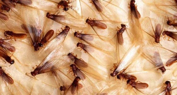 Be Alert, Termites Swarming Season Has Begun